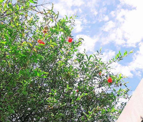 Pé de romã florescendo no quintal